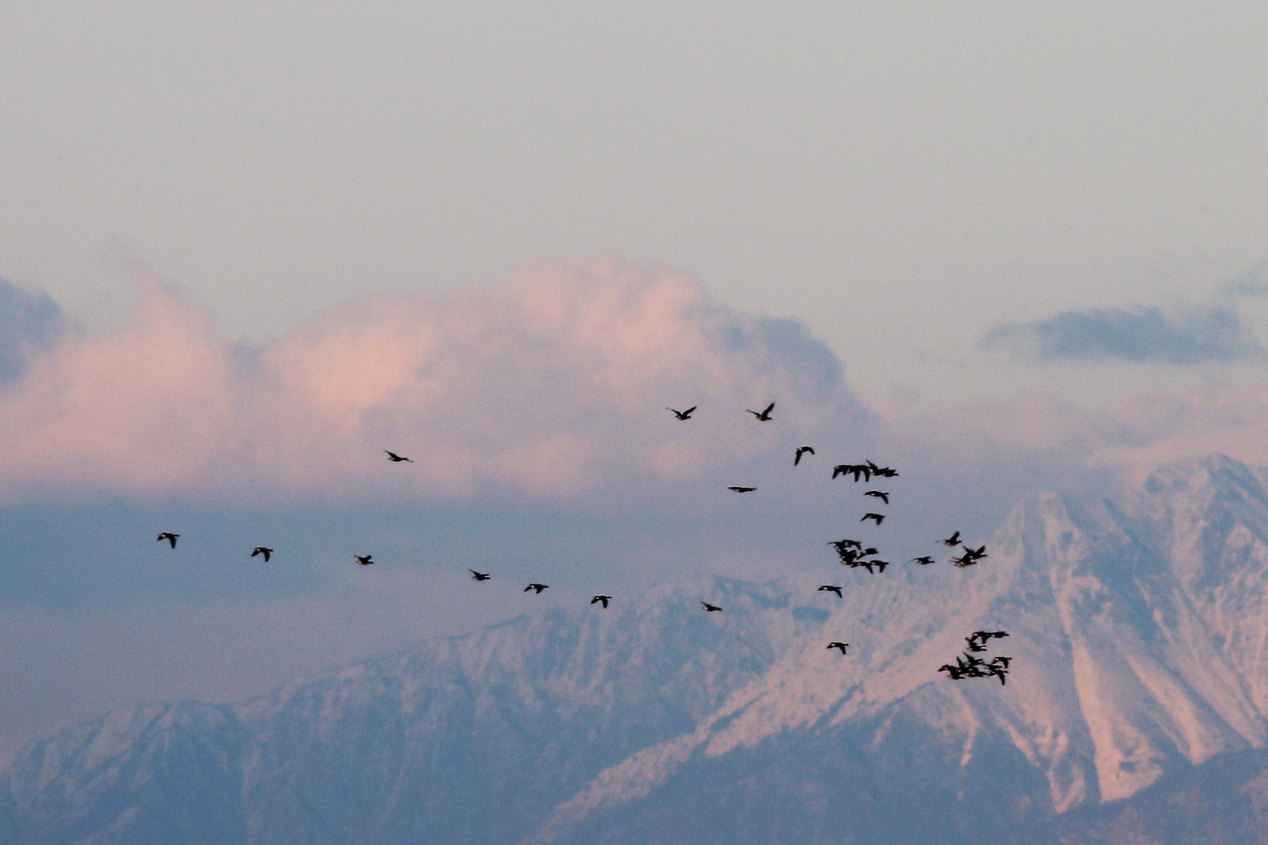 Greater white-fronted geese flying south of the Carnian Dolomites